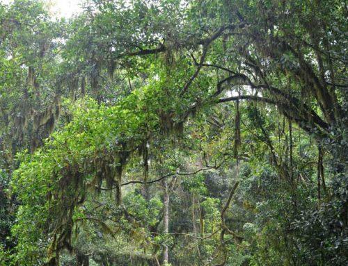Thate Vondo Forest